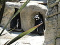 African Penguins at Amazon World Zoo 3.JPG