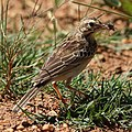 African Pipit with a cricket (36861645164).jpg