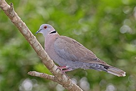 African mourning dove (Streptopelia decipiens shelleyi).jpg