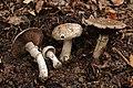 Agaricus subperonatus - Gruga-0057.jpg