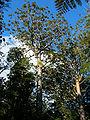 Agathis australis Waipoua Forest 2.jpg