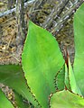 Agave bovicornuta 2.jpg