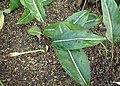 Aglaonema costatum f. immaculatum kz02.jpg