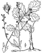 Agrimonia rostellata drawing.png