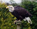 Alaskan Bald Eagle (3435022987).jpg