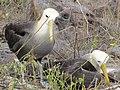 Albatross birds - Espanola - Hood - Galapagos Islands - Ecuador (4871606088).jpg