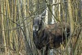 Alces alces 23(js), Biebrza National Park (Poland).jpg