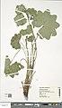 Alchemilla acutiloba herbarium (03).jpg