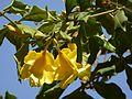 Allamanda cathartica (4610567037).jpg