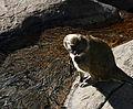 Allens Swamp Monkey (4238066153).jpg