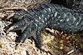 Alligator Left Forepaw.jpg