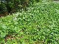 AlliumUrsinumHilden.JPG