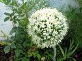 Allium cepa, Amol.jpg