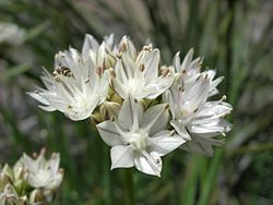Allium haematochiton1JDCR.jpg