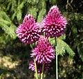Allium sphaerocephalon 1b.jpg