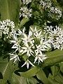Allium ursinum RHu closeup.JPG