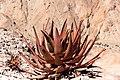 Aloe gariepensis -0473 - Flickr - Ragnhild & Neil Crawford.jpg