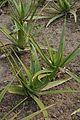 Aloe vera - Agri-Horticultural Society of India - Alipore - Kolkata 2013-01-05 2328.JPG