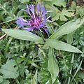 Alpenflockenblume01.jpg