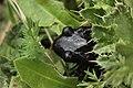 Alpine salamander - Salamandra atra (43643068394).jpg