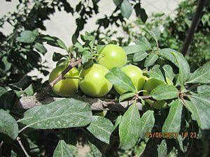 Cherry plum - Image: Aluche ye kaal