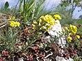 Alyssum montanum subsp. montanum sl1.jpg