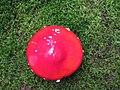 Amanita muscaria (29989094451).jpg