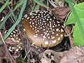 Amanita pantherina 127834394.jpg