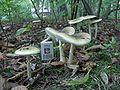 Amanita phalloides adult 3.jpg