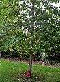 Amaptocare, Lime tree.jpg