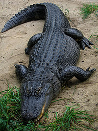 A large American alligator standing half on sand and half on grass.