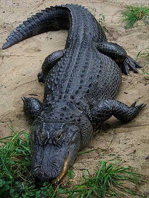 An American Alligator in captivity at the Colu...