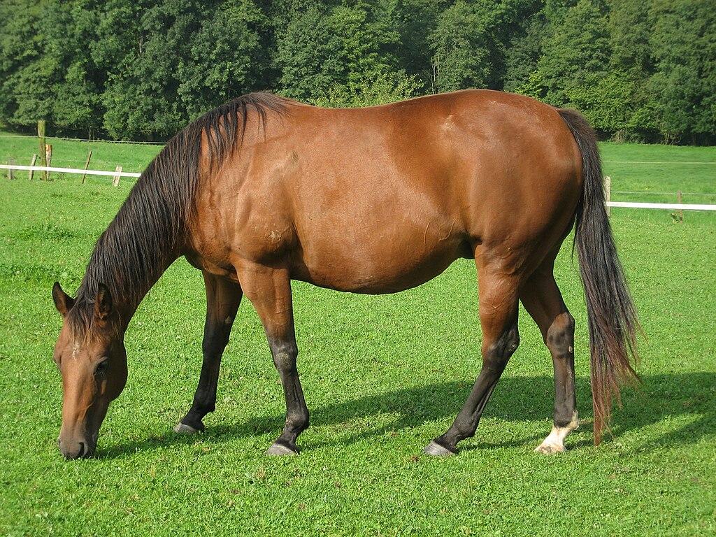 American quarter horse.jpg