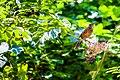 American robin on elderberry (19692243675).jpg