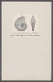 Ammonites bipartitus - - Print - Iconographia Zoologica - Special Collections University of Amsterdam - UBAINV0274 091 01 0042.tif