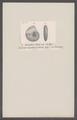 Ammonites calcar - - Print - Iconographia Zoologica - Special Collections University of Amsterdam - UBAINV0274 091 01 0043.tif
