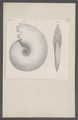 Ammonites spec. - - Print - Iconographia Zoologica - Special Collections University of Amsterdam - UBAINV0274 091 01 0026.tif