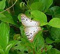 Anartia jatrophae (Insecta).jpg