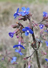 Anchusa strigosa 3