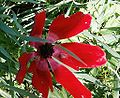 Anemone coronaria flowers from kdumim winter 2014 03.JPG
