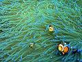 Anemone fish in Anemone.jpg