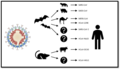 Animal origins of human coronaviruses.webp