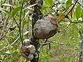 Ant Plants (Hydnophytum formicarum) (8437202617).jpg