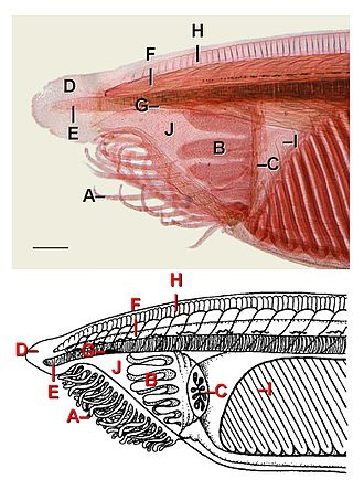 Lancelet - Image: Anterior External L