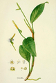 Anthurium scandens ADD.png