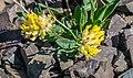Anthyllis vulneraria at Col de Tavaneuse (1).jpg