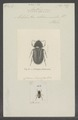 Anthypna - Print - Iconographia Zoologica - Special Collections University of Amsterdam - UBAINV0274 019 15 0017.tif
