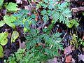 Apiaceae (5394083465).jpg