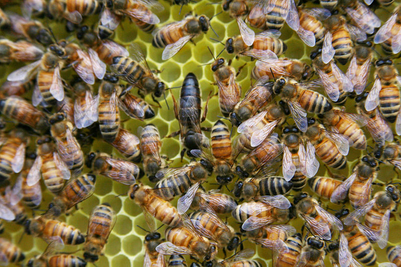 File:Apis Mellifera Carnica Queen Bee in the hive.jpg
