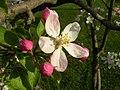 Apple Blossom - Michigan.JPG